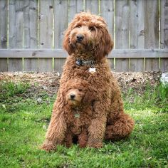 25 Australian Labradoodle Puppies You Will Love Chien Goldendoodle, Australian Labradoodle Puppies, Goldendoodles, Labradoodles, Cavapoo, Miniature Labradoodle, Standard Goldendoodle, Labradoodle Dog, Cute Dogs And Puppies