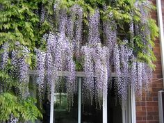 Japanese Black Dragon is a better bloomer and a repeater compared to Chinese Wisteria Back Gardens, Outdoor Gardens, Lawn And Garden, Home And Garden, Building A Trellis, Backyard Plan, Climbing Vines, Outdoor Landscaping, Garden Styles
