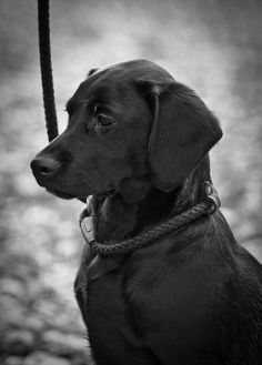Beautiful Labrador Retriever