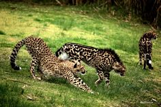 King Cheetah next to a typical cheetah. They are not different species. In 2012, the cause of this alternative coat pattern was found to be a mutation in the gene for transmembrane aminopeptidase Q (Taqpep), the same gene responsible for the striped 'mackerel' versus blotchy 'classic' patterning seen in tabby cats. The mutation is recessive and must be inherited from both parents for this pattern to appear, which is one reason why it is so rare.