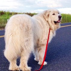 Pyrs walk their humans; not the other way around