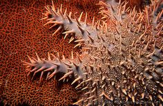 crown of thorns sea star.....king of reef destruction!