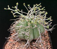 Euphorbia obesa o rechoncha??? - Foro de InfoJardín