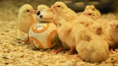 Chicks loves Star Wars | Das GIF des Tages plus Video