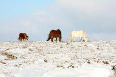 Dartmoor ponies in Devon, UK. Devon Uk, Devon England, Devon And Cornwall, Countries Around The World, Around The Worlds, Dartmoor National Park, All The Pretty Horses, Holiday Destinations, Somerset
