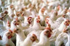 After years of sweeping the issue under the rug and hoping no one would notice, the FDA has now finally admitted that chicken meat sold in the USA contains arsenic, a cancer-causing toxic chemical that's Bird Flu, Poultry Supplies, Factory Farming, Chicken Feed, Fresh Chicken, Meat Chickens, Raising Chickens, Alternative Health, Going Vegan