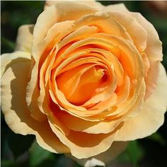 Candlelight are a deep yellow, spiral shaped, medium scented Garden Rose. As with any garden rose Candlelight have a shorter vase life than commercially glass house grown roses. Fragrant Roses, Rose Varieties, Florist Supplies, Rose Candle, David Austin Roses, Hybrid Tea Roses, Different Flowers, Purple Roses, Pink
