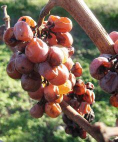 A proposito di vini dolci - SaggiBevitoriBlog