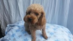 Meet Joey, a Petfinder adoptable Poodle Dog | Hagerstown, MD | Joey is an adorable, 2 yr old male, red poodle who is looking for a new home.  He is neutered, up...
