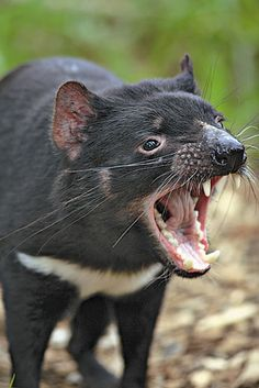 Numbers of the Tasmanian Devil have been reduced by 80% since 1996. Because of limited genetic diversity on the island, they have developed a type of cancer that is rapidly leading the species towards extinction. (Jurgen & Christine Sohns / FLPA / Minden Pictures)