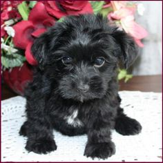 yorkie poo puppy ... this is exactly what Cletus Klump looked like as a baby!