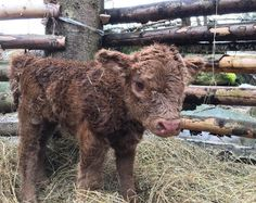 Miniature Breeds Of Cattle That Are Perfect For Small Farms Cute Baby Cow, Baby Cows, Cute Cows, Cute Baby Animals, Farm Animals, Animals And Pets, Funny Animals, Baby Elephants, Wild Animals