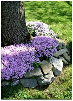 Creeping PHLOX is a dense & vigorous ground cover with spring flowers.
