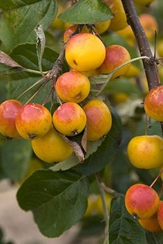 Malus butterball tree crab apples