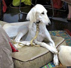 Saluki - Persian hound