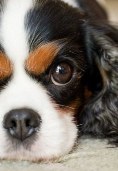 Cavalier King Charles Spaniel..(by mollie hewitt on 500px)