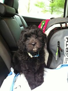 Black goldendoodle puppy Baby Animals Pictures, Cute Animal Pictures, Baby Puppies, Dogs And Puppies, Goldendoodle Black, Chocolate Labradoodle, Doodle Dog, Labradoodles, Crazy Dog Lady