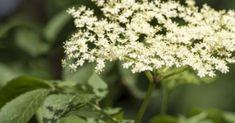 Υγεία - Ο σαμπούκος (Sambucus nigra) είναι ένας μικρός αυτοφυής φυλλοβόλος θάμνος που συναντάμε συχνά σε δασώδεις περιοχές. Έχει οδοντωτά και λογχοειδή φύλλα, μικρ Holistic Medicine, Herbal Medicine, Home Remedies, Natural Remedies, Alternative Treatments, Healing Herbs, Body Care, Weed, Herbalism