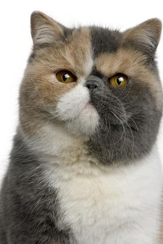 Beautiful Exotic Shorthair (short-haired Persian).