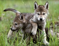 """Although there has never been a reported case of rabies in wolf pups, the rationale the state gave for adopting its new lethal protocol in western and northern Alaska was a purported risk of rabies in wolf pups. """