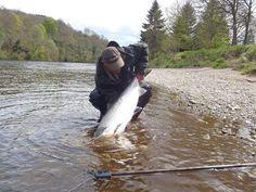 : Salmon Fishing Scotland Large spring Salmon on the Tay, Perthshire, Scotland May 37 lbs Salmon Fishing, Trout Fishing, Fly Fishing, Cottages Scotland, Scottish Salmon, Fish Hatchery, West Coast Scotland, Atlantic Salmon, Baked Fish