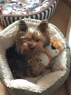 So cute #yorkshireterrier