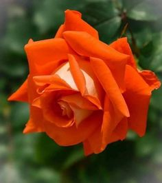 Beautiful Flower Quotes, Beautiful Flowers Garden, Beautiful Roses, Pretty Flowers, Rare Roses, Rainbow Roses, Coming Up Roses, Special Flowers, Good Morning Flowers