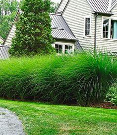 -Chinaschilf & - Regina T- Balcony Plants, Balcony Garden, Garden Beds, Garden Plants, Small Gardens, Outdoor Gardens, Miscanthus Sinensis Gracillimus, Stipa, House Landscape