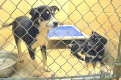 SAFE -- SUPER URGENT at GASSING SHELTER - CECILY TAG 955 (LEFT) FEMALE GERMAN SHEPHERD RELEASE DATE 3/17/14  FUNDRAISER: https://www.youcaring.com/pet-expenses/please-help-save-cecily-/152337   CHAYA TAG 956 (RIGHT) FEMALE GERMAN SHEPHERD RELEASE DATE 3/17/14 - ADOPTED!!!! Cleveland County Animal Control  1609 Airport Rd, Shelby, NC 28150 https://www.facebook.com/photo.php?fbid=656499871051858&set=a.637867812915064.1073742132.285283128173536&type=3&theater