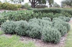 Westringia fruticosa Grey Box ['WES04'] PPAF - Dwarf Coast Rosemary at San Marcos Growers