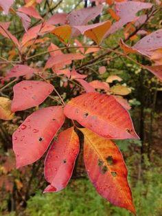 Poison Sumac, Autumn Colors