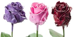 Flower Export News Item Wax Roses by Primera Fantasy Colours