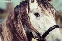 Three year old Lusitano stallion Homero @Moravita ISHAS Elite Equestrian Education