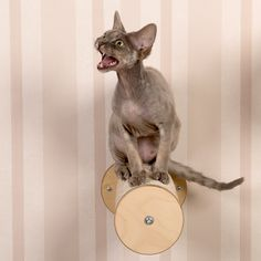 Climbing Step with Cat Boris Devon Rex