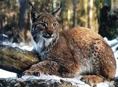 large wild cats   big wild cats