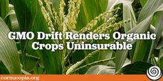 In an apparent handshake with the biotech industry, the USDA has declared that crop insurance does not cover organic crops contaminated by chemical or GMO drift. Other problems also plague crop insurance programs for organic farmers, as the insurance does Medical Marijuana, Cannabis, Crop Insurance, Genetics, Compost, Herbs, Organic, Farmers, Mj