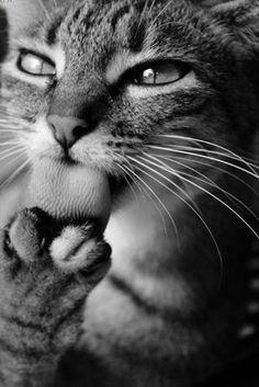 Güzel bir yemek sonrası yüz ve pati temizliği şart! Afiyet olsun :) #dinner #2014 #newyear #cats #cute #kedi #animals #birkediistiyorum