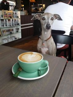 cappuccino-with-fien-italian-greyhound-het-paradijs
