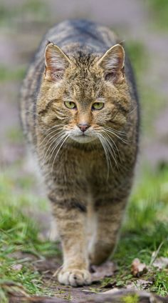 Really Great Tips For Caring For Your Cats - Cat Whisperer Pretty Cats, Beautiful Cats, Animals Beautiful, Crazy Cats, Big Cats, Cool Cats, Kittens Cutest, Cats And Kittens, Cat Species