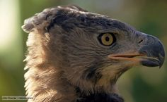 Largest Bird Of Prey | them one of the largest eagles in Africa. As with most birds of prey ...