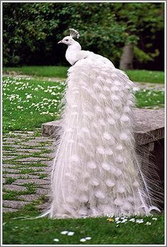 Amazing White Peacock whose tail looks like the train on a brides wedding dress. | See more about peacock and white.