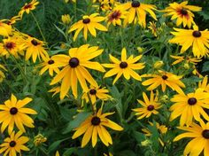 Ландшафтный дизайн, садовые растения, садовые цветы, садовые многолетние растения, садовые многолетние цветы, многолетние растения, многолетние цветы, рудбекия