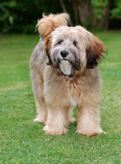 One of the 10 most ancient breeds, the Tibetan Terrier Terriers, Le Terrier, Terrier Dog Breeds, Top 10 Dog Breeds, Dog Breeds That Dont Shed, Cat Breeds, I Love Dogs, Cute Dogs, Tibet Terrier