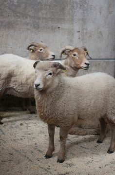 Portland sheep 2 | Flickr - Photo Sharing!