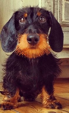 wirehaired doxie looks like the perfect combination of my BB and Kandi! I can see both of the in this one dog!