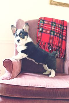 Not sure where our kids saw a corgi, but this is our future around Christmas!