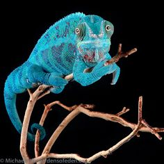 Photograph Furcifer paradalis, Panther Chameleon  by Michael Kern on 500px