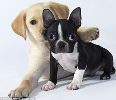 Adorable: Two gorgeous puppies show how cute they can be, one with its paw around the other