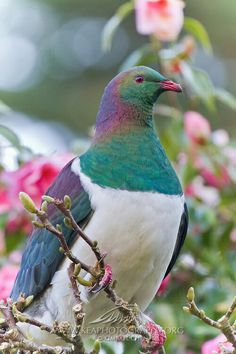 Kereru-New Zealand wood pigeon. Absolutely love these birds. Pretty Birds, Love Birds, Beautiful Birds, Animals Beautiful, Cute Animals, Exotic Birds, Colorful Birds, New Zealand Wildlife, Wood Pigeon