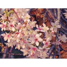 【royal_albert8】さんのInstagramをピンしています。 《去年の12月にりんくう公園で撮った、ヒマラヤ桜です🌸春の桜より、真冬に観る桜の方が好き。冬は寒いけど、生きてる!って実感するから(^o^)✴それでは、良い週末を!》